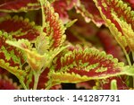 Red and Green Variegated Coleus - stock photo