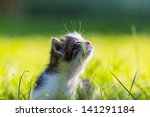 Stock photo little kitten 141291184
