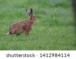 Stock photo european brown hare lepus europaeus an adult brown hare isolated in a field of grass 1412984114
