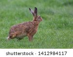 Stock photo european brown hare lepus europaeus an adult brown hare isolated in a field of grass 1412984117