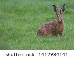 Stock photo european brown hare lepus europaeus an adult brown hare isolated in a field of grass 1412984141