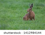 Stock photo european brown hare lepus europaeus an adult brown hare isolated in a field of grass 1412984144