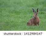Stock photo european brown hare lepus europaeus an adult brown hare isolated in a field of grass 1412984147