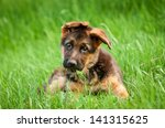 German Shepherd Puppy In The...