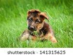 German Shepherd Puppy In The...