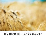 Wheat closeup. Wheat field. Background of ripening ears of wheat. Harvest and food concept. - stock photo
