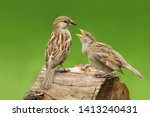 A Sparrow Feeding Its Chick