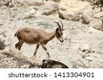 Mountain Goats Of The Judean...