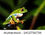 Red Eyed Tree Frog  Agalychnis...