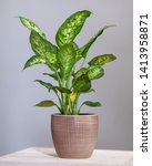 Small photo of Dieffenbachia Dumb canes plant in colorful pot