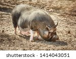 Vietnamese Pot Bellied Pig...