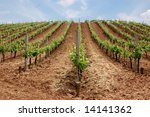 Lines of wine plants on a hill with sky in the background - stock photo