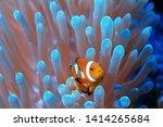 Clown Fish Coral Reef   Macro...