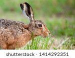 Stock photo stunning wild brown hare close up side profile of a hare eating grass beautiful natural scene 1414292351