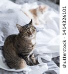 Stock photo tabby domestic shorthair cat sitting on messy bed looking at owner innocently 1414326101