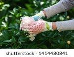 woman gardener holding a peony... | Shutterstock . vector #1414480841