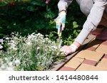 photo of gardener removing weed ... | Shutterstock . vector #1414480844