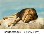 Male Lion Sleeping On A Large...