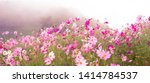 Beautiful Cosmos Flowers...