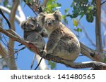 Wild Koalas Along Great Ocean...