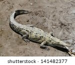 Crocodile Taking Sun