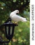 White Dove Perches On Lantern