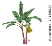 Palm Plant Tree Isolated. Musa...