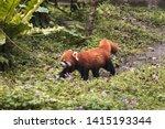 Red Panda Bear Walking On...