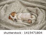 cute  puppy jack russell dog...   Shutterstock . vector #1415471804