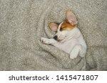 cute  puppy jack russell dog...   Shutterstock . vector #1415471807