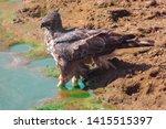sharp shinned hawk in sri lanka   Shutterstock . vector #1415515397