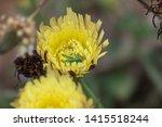 katydid nymph on smooth golden... | Shutterstock . vector #1415518244