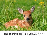 Small photo of fawn Virginia deer in forest of Quebec