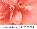 Stock photo coral color hibiscus flower petals close up macro 1415705834