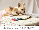 Stock photo two cute mini chihuahua dogs reading book puppies white background isolated close up portrait 1415787731