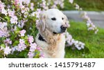 Stock photo happy smiling golden retriever puppy dog in the purple lupine flowers meadow in sunny summer 1415791487