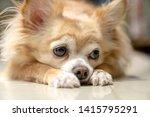 Boring Brown Furry Chihuahua...