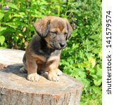 Stock photo cute a puppy of rate is on the stump of sunny canicular day 141579574