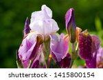 Burgundy Blooming Iris Flower...