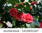 camellia japonica  known as...
