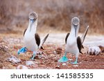 Couple Of Blue Footed Boobies...