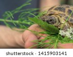 Stock photo the central asian tortoise also known as the asiatic brown tortoise sits on a horsetail stalk 1415903141
