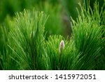 pinus pinea tree branch close... | Shutterstock . vector #1415972051
