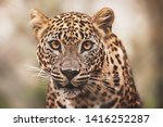 Ceylon Leopard  Panthera Pardus ...