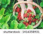 the child collects strawberries ... | Shutterstock . vector #1416358931