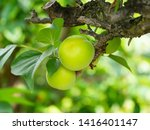 Fruit Of Japanese Plum Has...