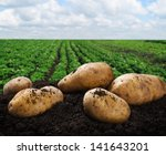 Harvesting Potatoes On The...