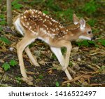 Small photo of Day old white tailed deer fawn with spots and unsteady legs wobbling away in a forest Toronto