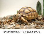 Stock photo  close up baby african spurred tortoise resting in the garden slow life africa spurred tortoise 1416651971