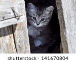Gray Kitten Peeking Out From...